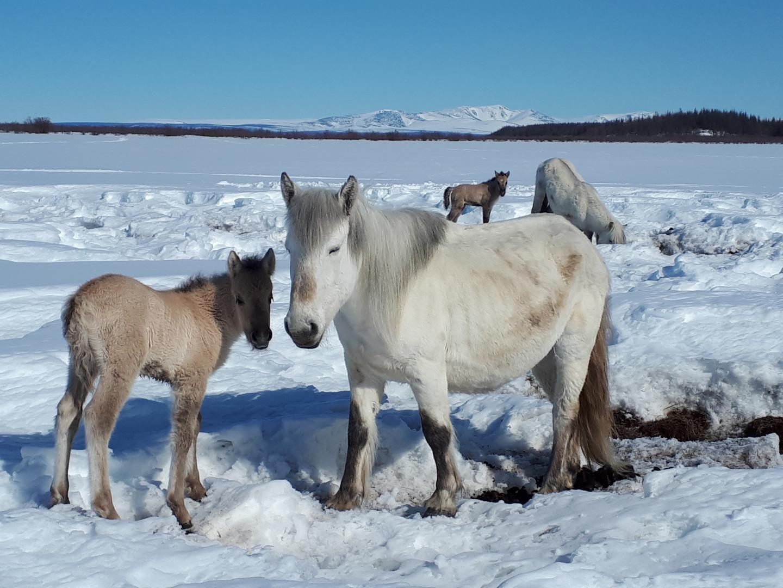Yakuten-Ponys im Schnee