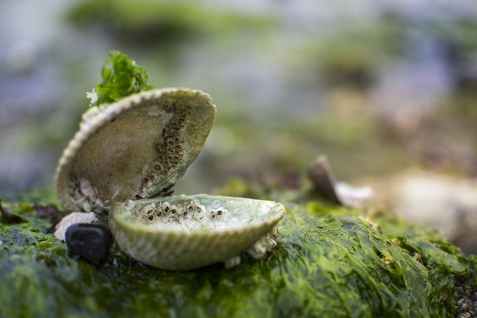eine offene Muschel auf einem bemoosten Stein