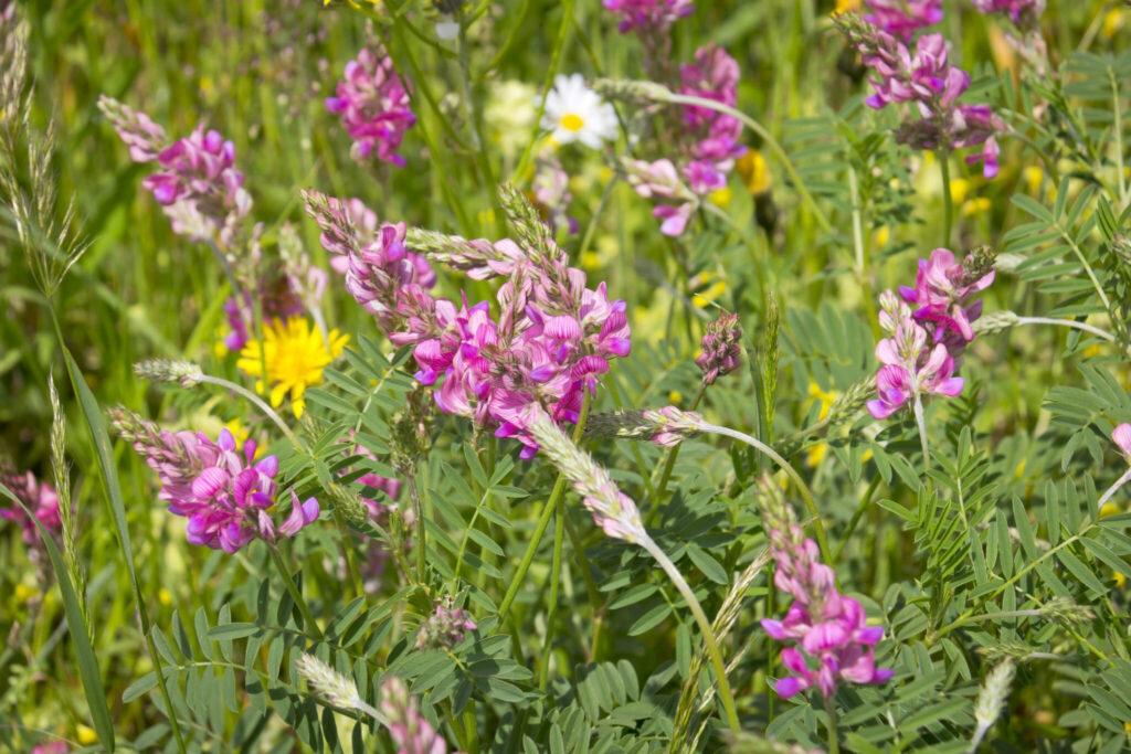 Esparsetten: Pflanze mit pinken Blüten