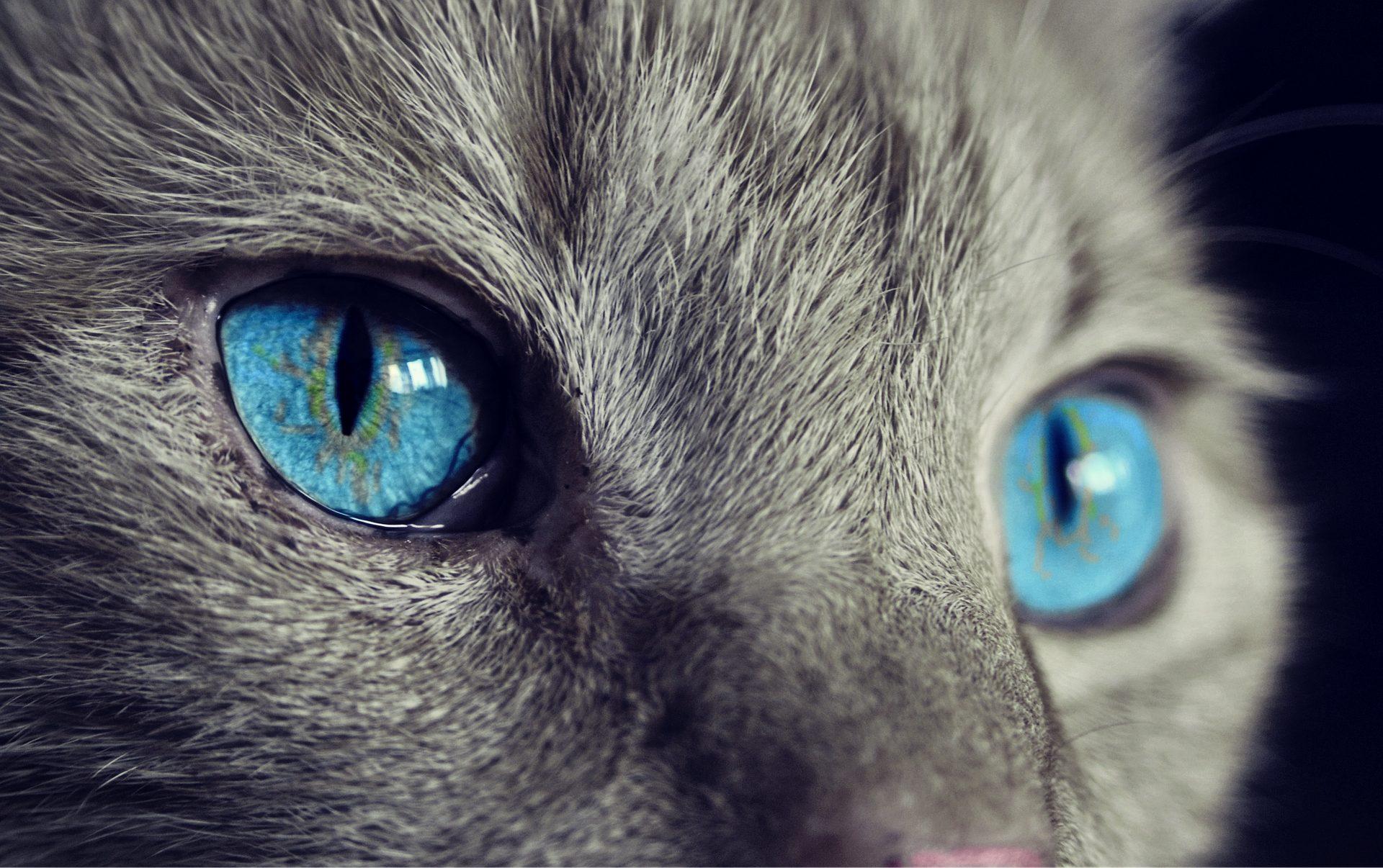 Nahaufnahme einer Katze mit blauen Augen