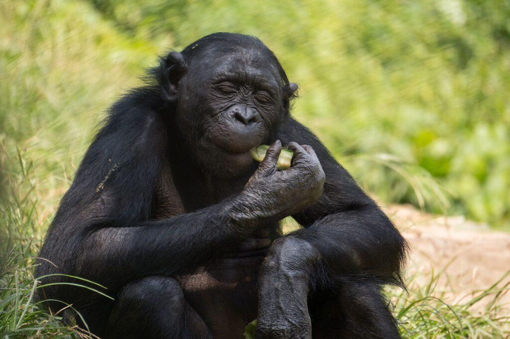 Bonoboaffe mit entspanntem Gesichtsausdruck am Gurke futtern.