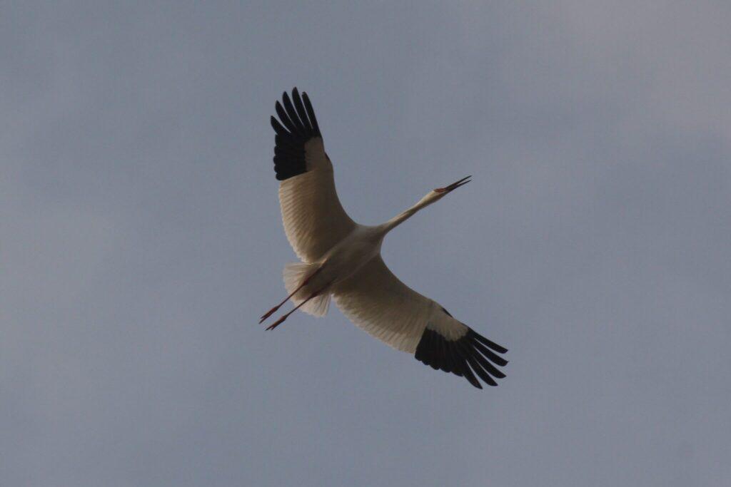 Sibirischer Kranich von unten betrachtet beim fliegen