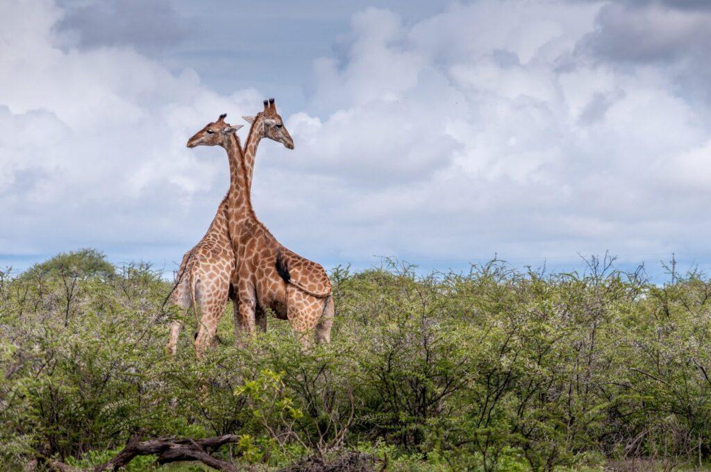 2 Giraffen, die ihre Hälse aneinanderreiben