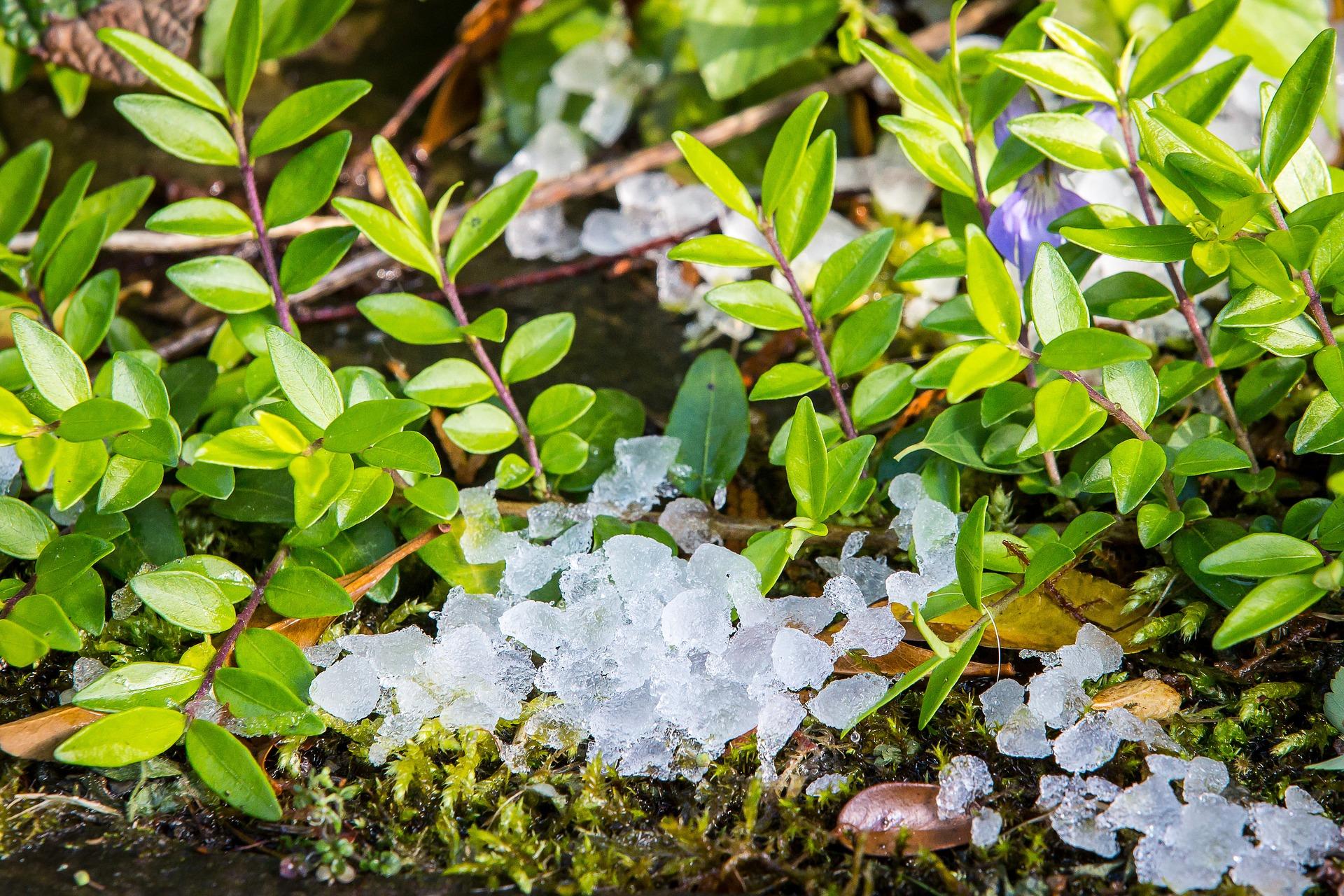 Grosse Hagelkörner liegen auf dem Boden zwischen grünem Blattwerk