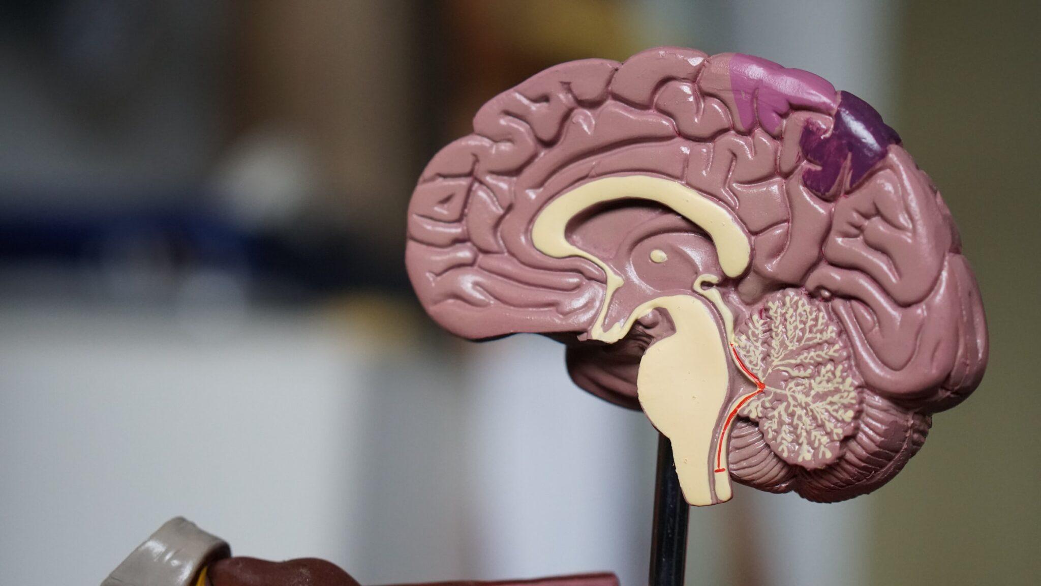 Ein seitlich aufgeschnittenes Modell eine smenschlichen Gehirns