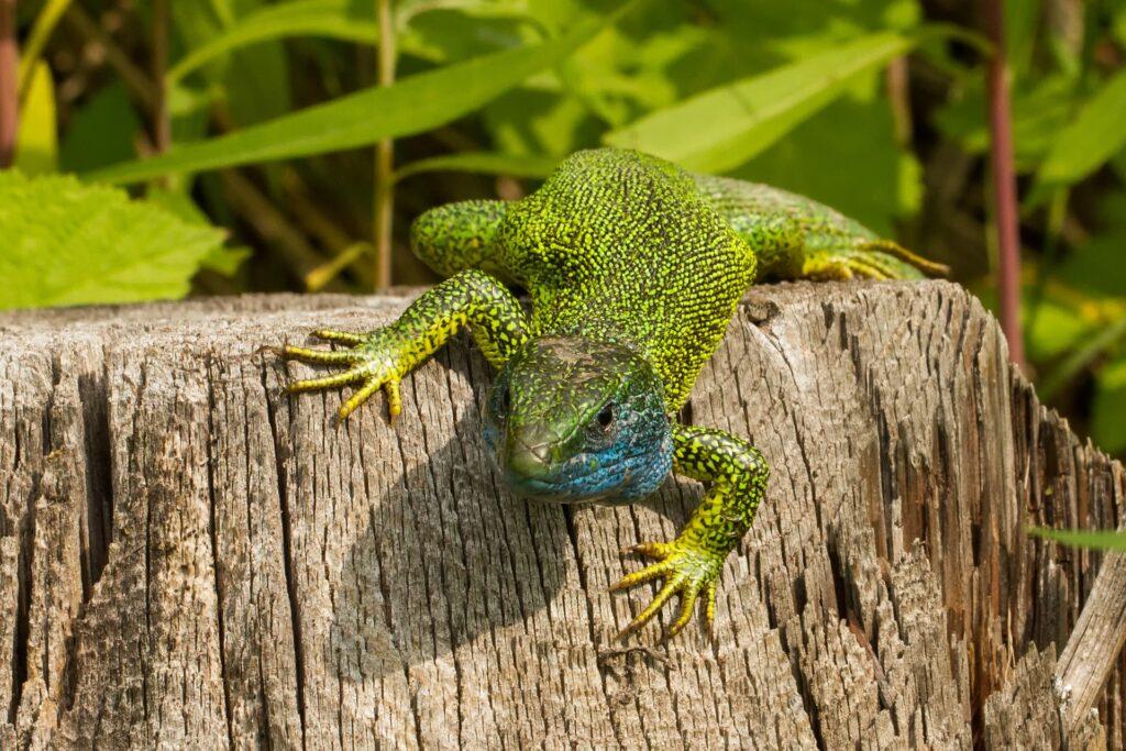 EIne leuchtend hellgrüne Eidechse mit blauer Kehle sitzt auf einem Baumstumpf