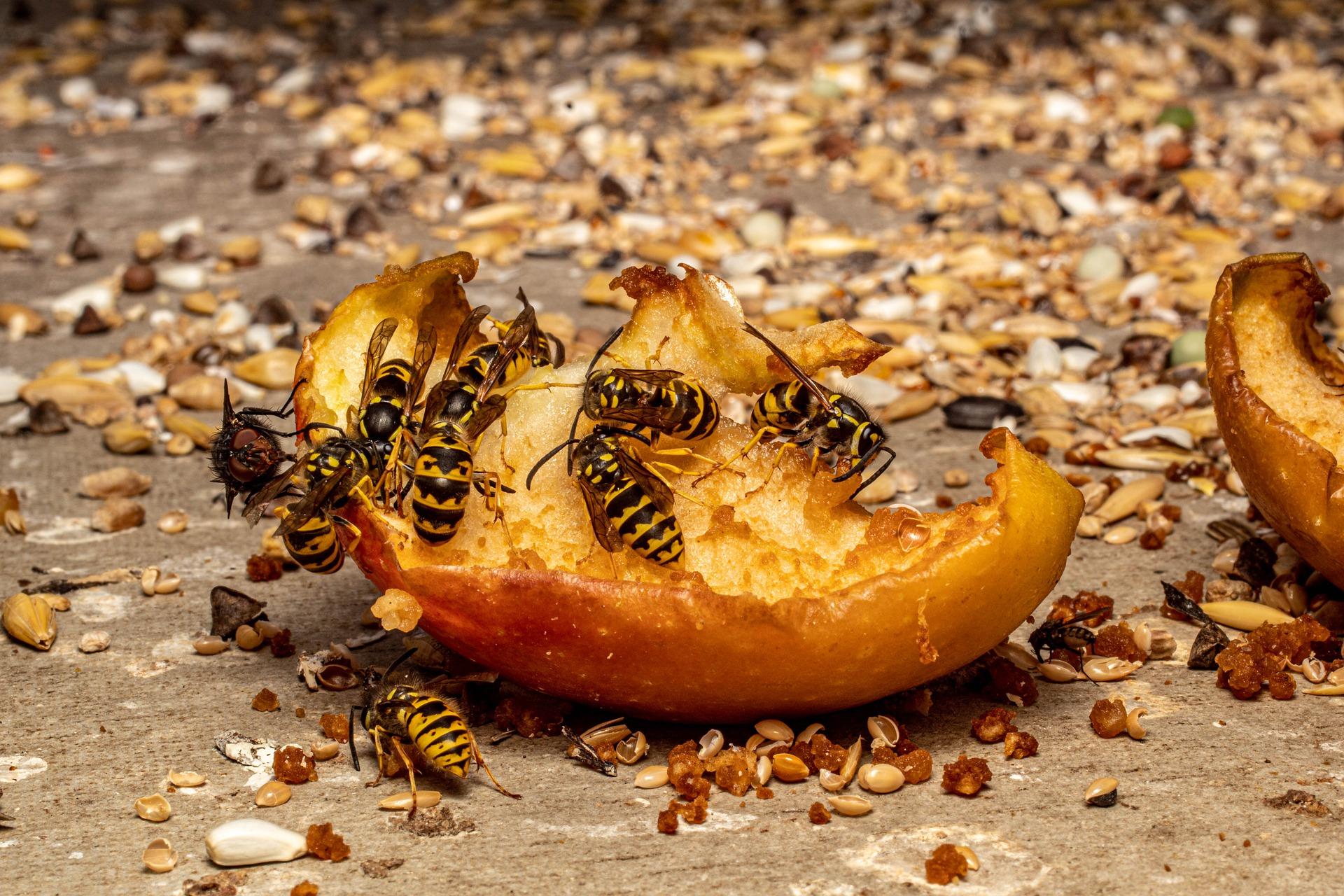 Wespen fallen über einen Apfelrest her, der auf dem Boden liegt.