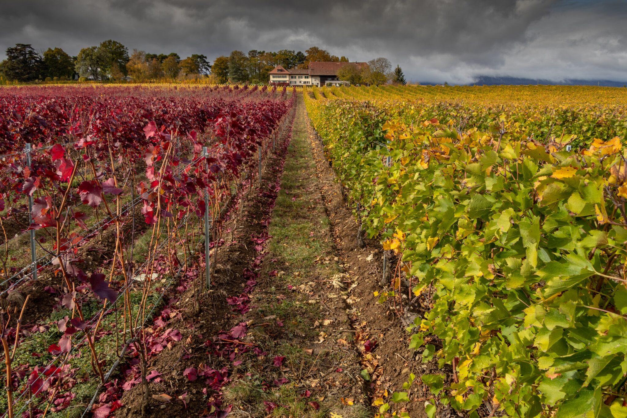 Ein Weinberg, der auf der linken Hälfte rote Blätter zeigt und auf der rechten Seite gelblich-grüne Blätter. Zwischen den beiden Hälften führt ein Pfad zu einem Anwesen weit im Hintergrund. Am Himmel sind graue Wolken aufgezogen.
