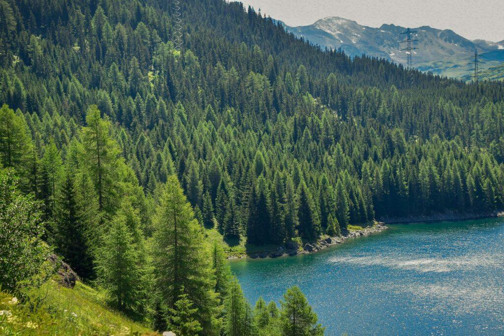 Tannenwald an einem See