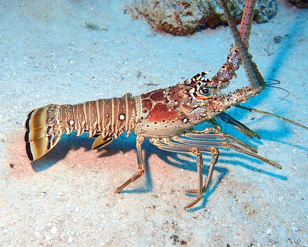 Eine farbenfrohe Karibiklanguste