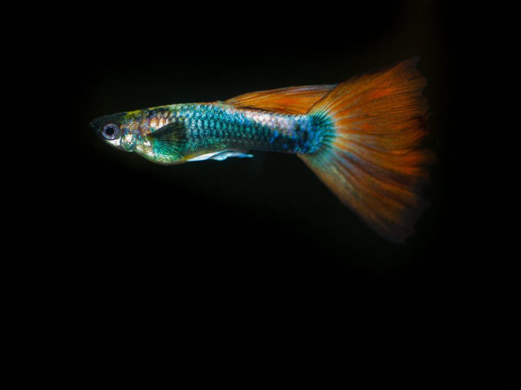 Ein farbenfroher Guppy mit orangenen Flossen und blau-grün schillerndem Körper.