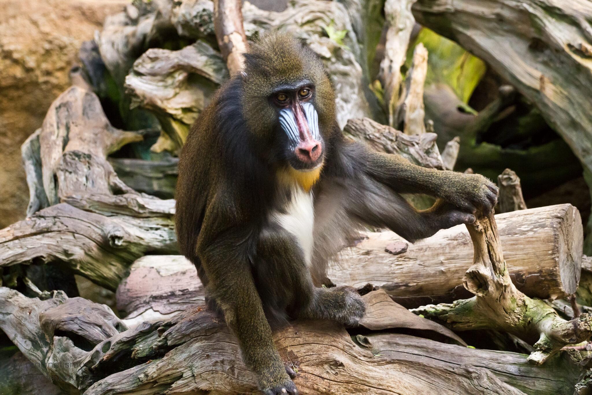 Ein Mandrill-Affe auf einem Baumstamm im Zoo Dresden.