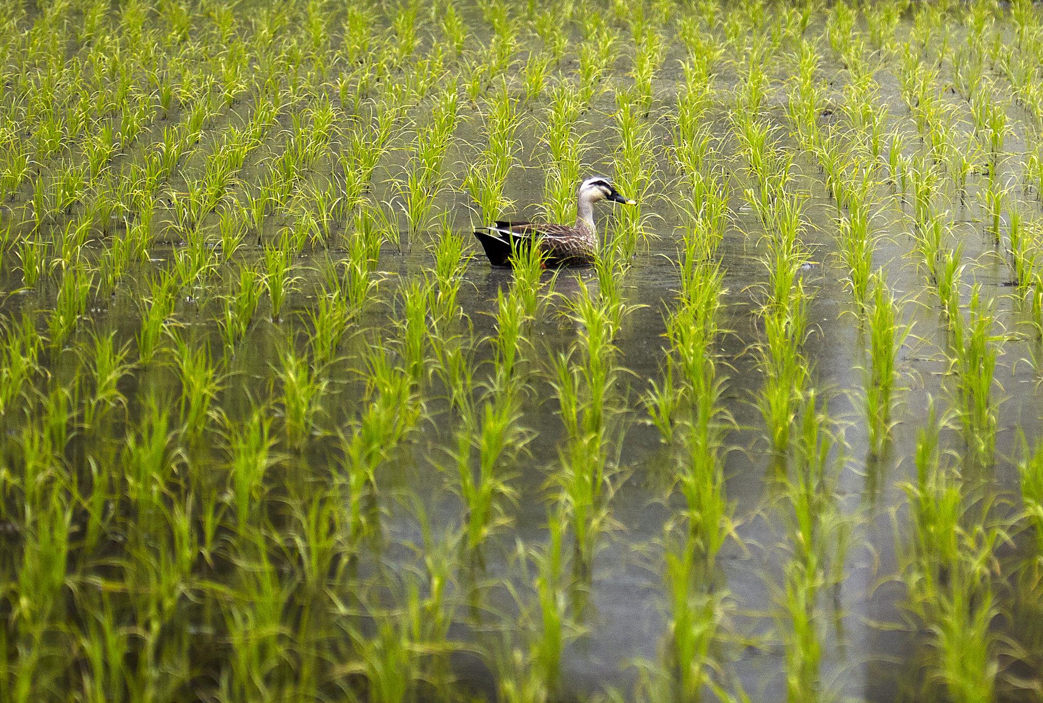 Eine Ente schwimmt durch ein Reisfeld