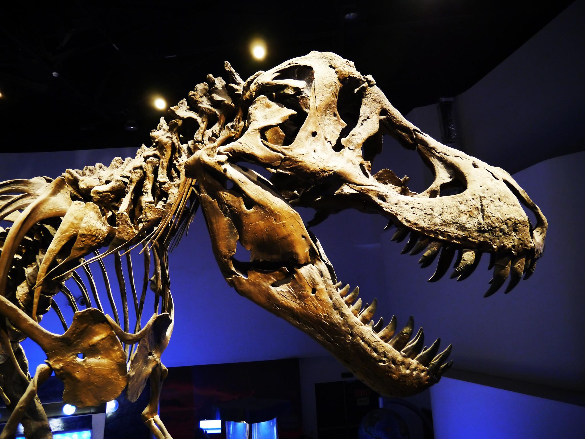 Kopf und Schulterpartie eines T-rex Skelett in der Seitenansicht