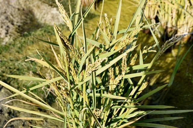 Reispflanze im Reisfeld am Fusse des Mont Vully.