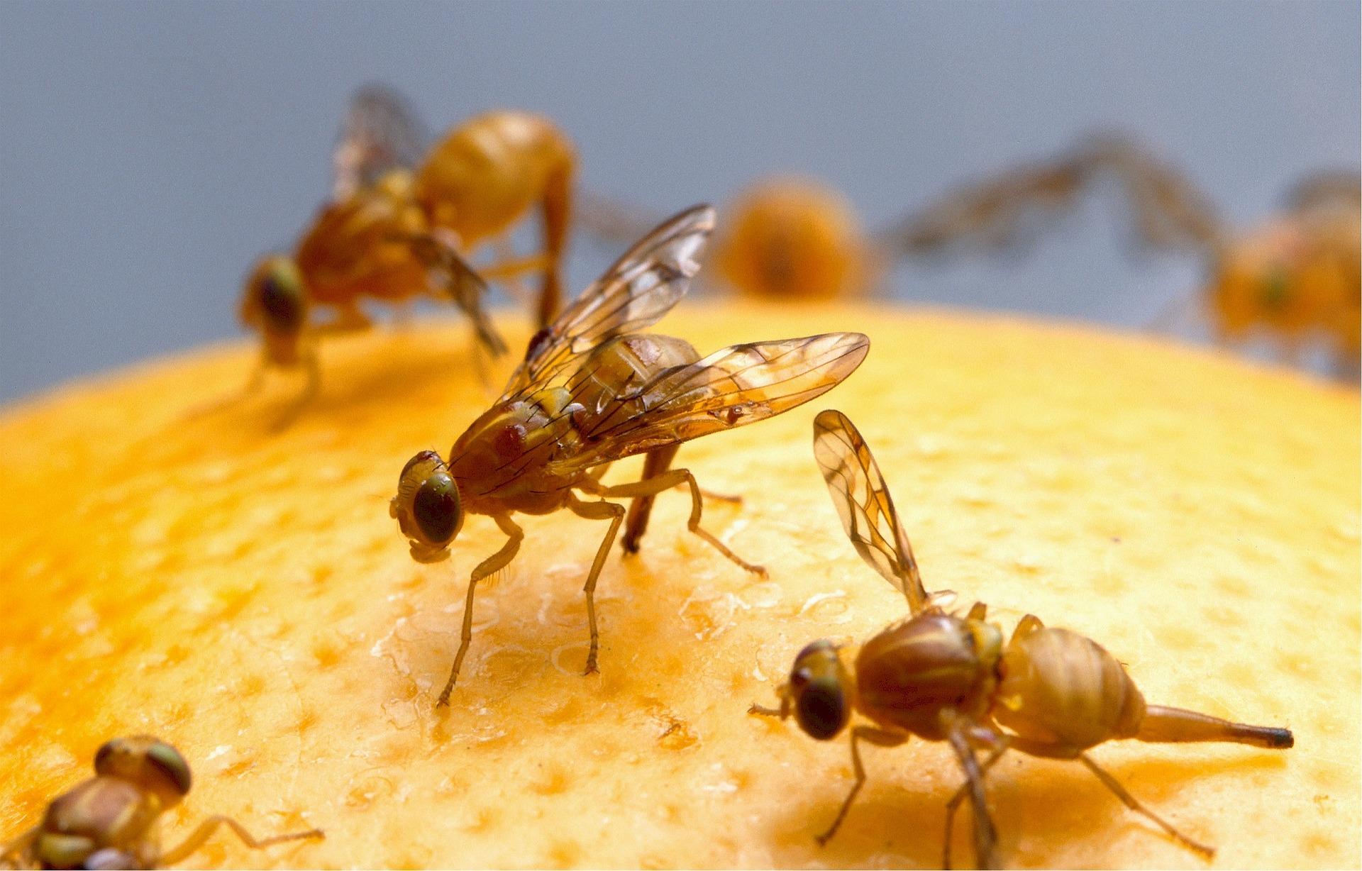 Fruchtfliegen in Grossaufnahme auf einer Orange