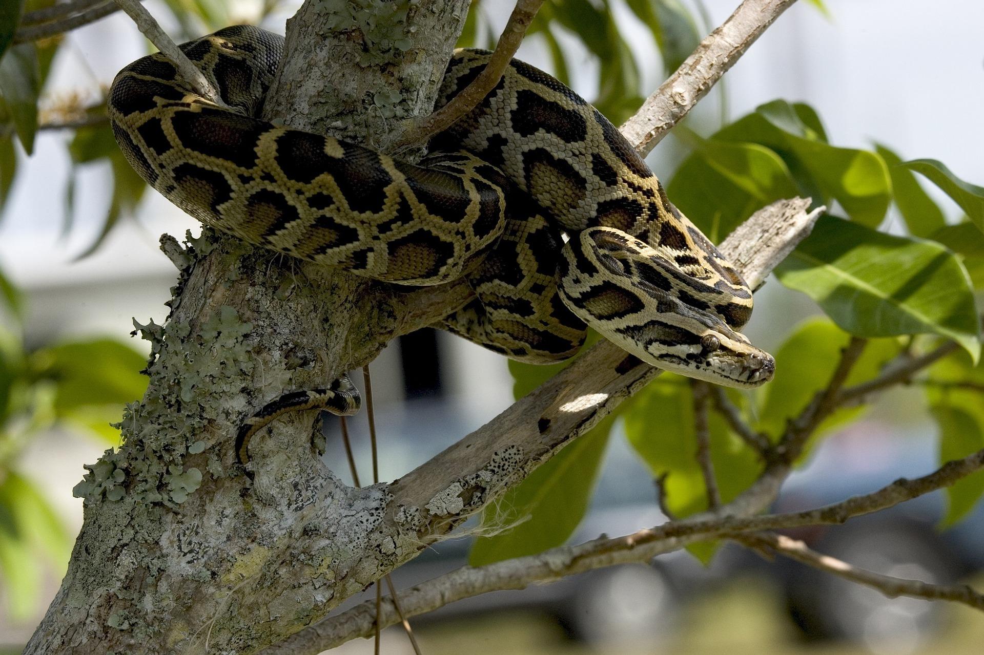 Eine Schlange mit Netzmuster in beige und Brauntönen wickelt sich um einen Baum.