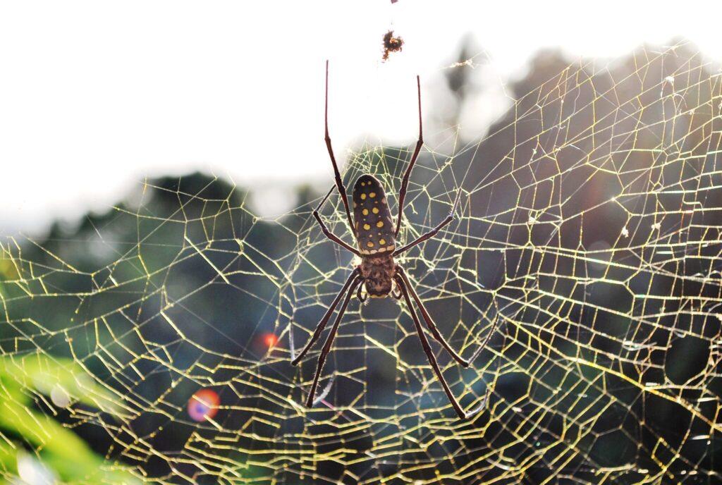 Goldene Seidenspinne im Netz.