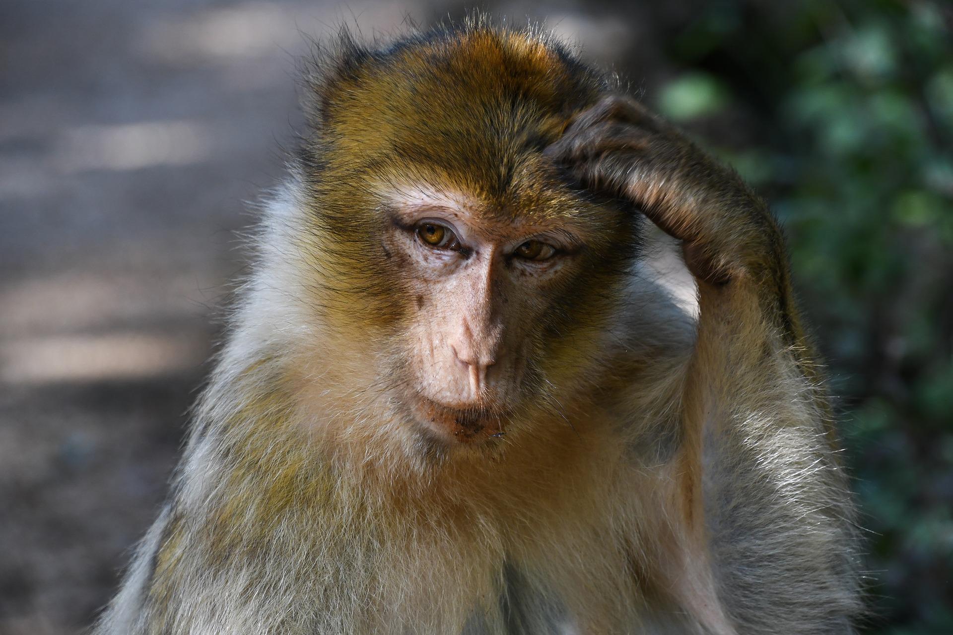 Ein Makake kratzt sich am Kopf.