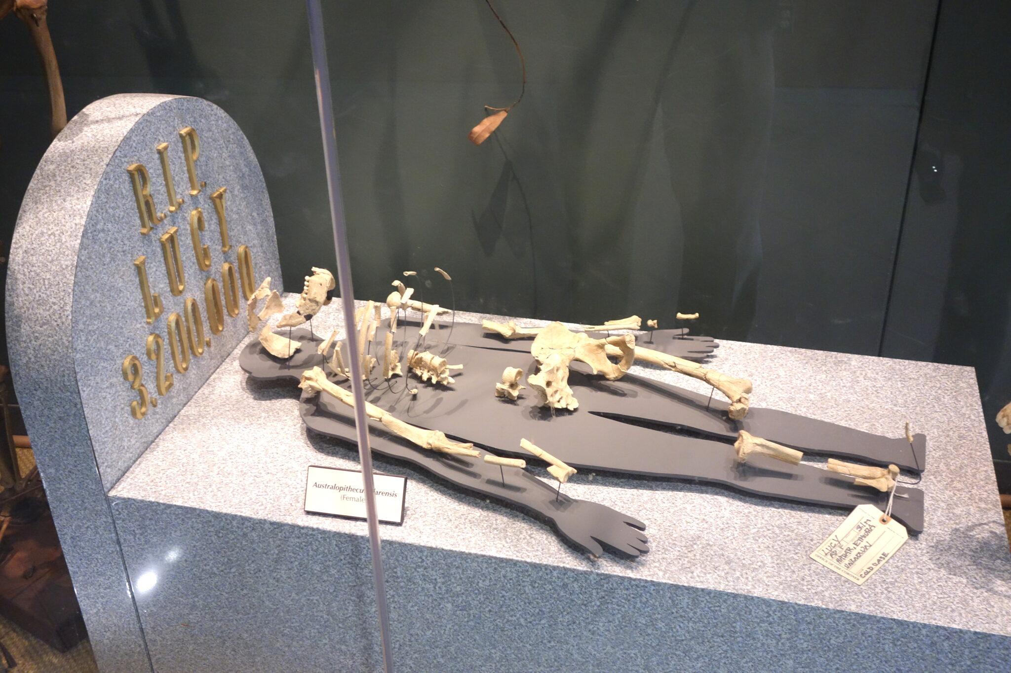 Fossilien von Lucy wie eine Leiche ausgestellt.