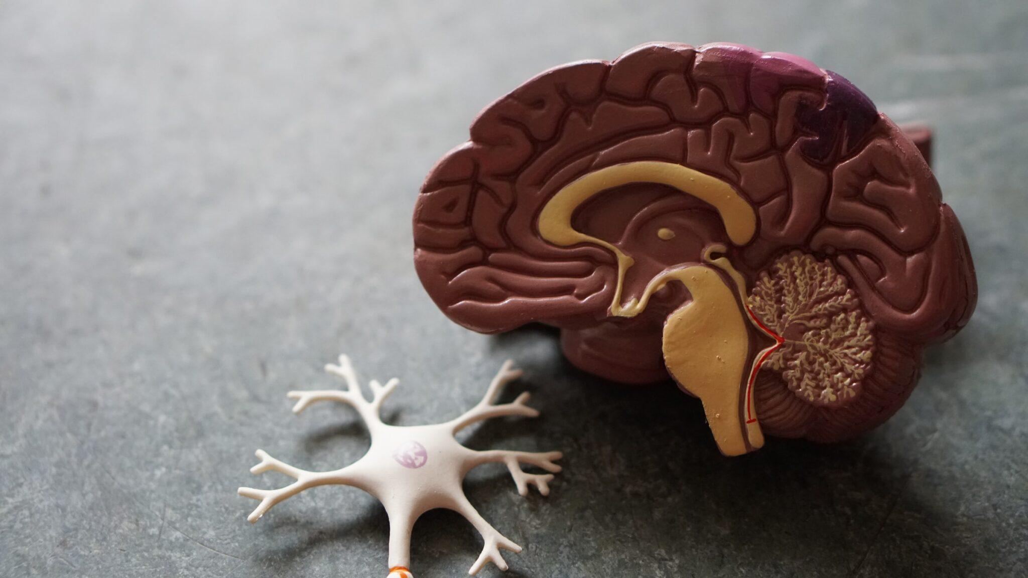 Ein Gehirnmodell im Querschnitt mit Neuron