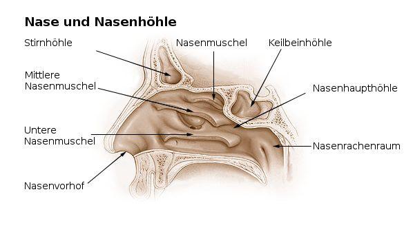Anatomischer Querschnitt der Nase