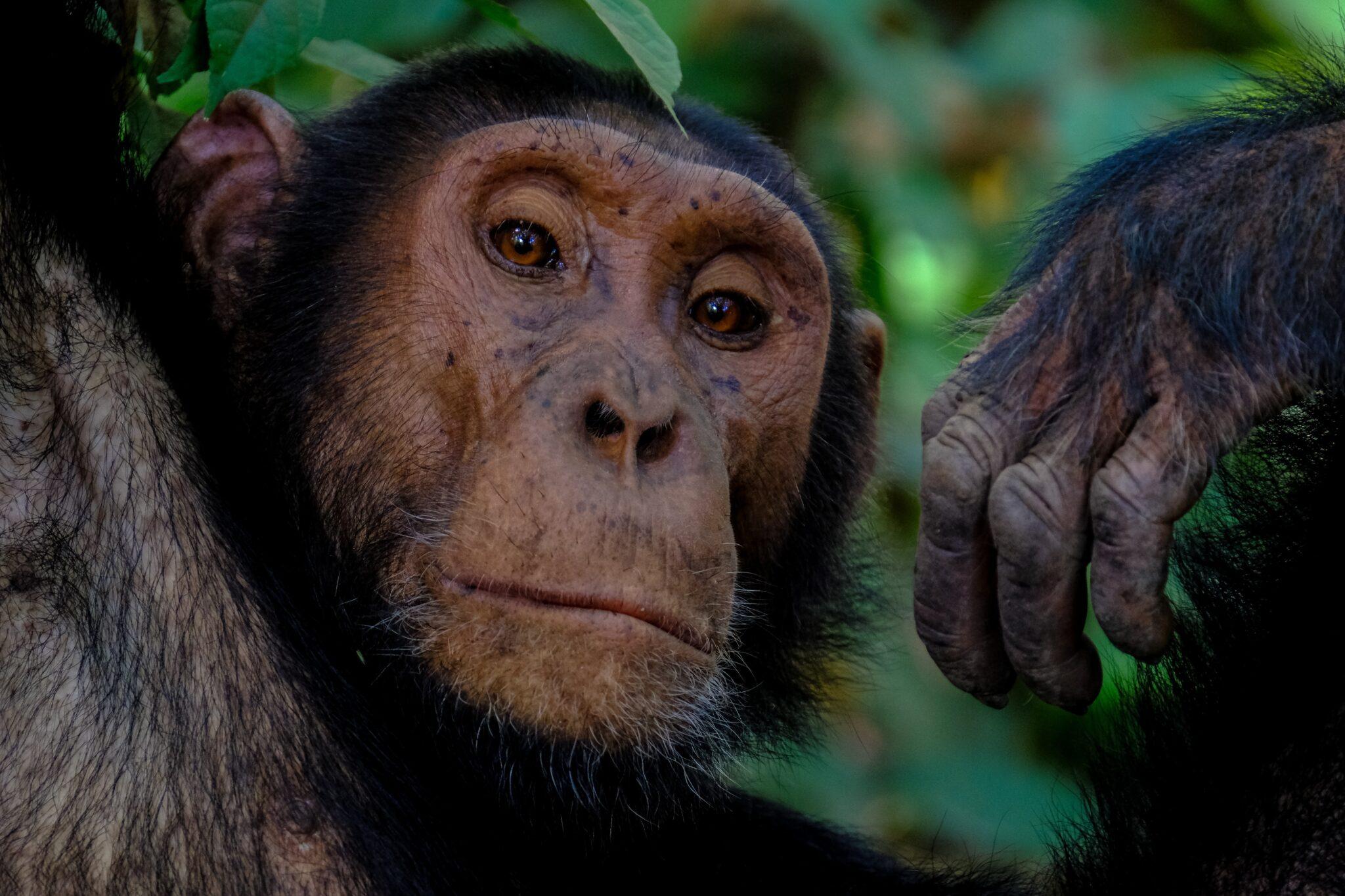 Schimpanse schaut herausfordernd und ernst in die Kamera