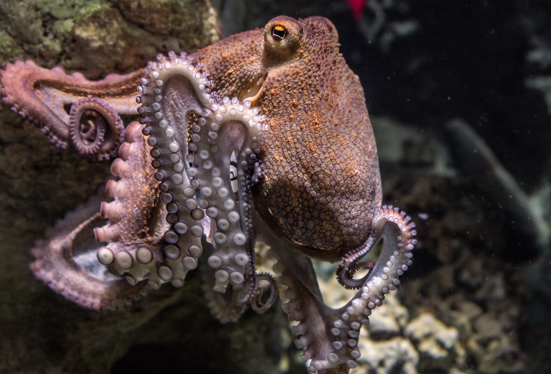Eine Krake unter Wasser