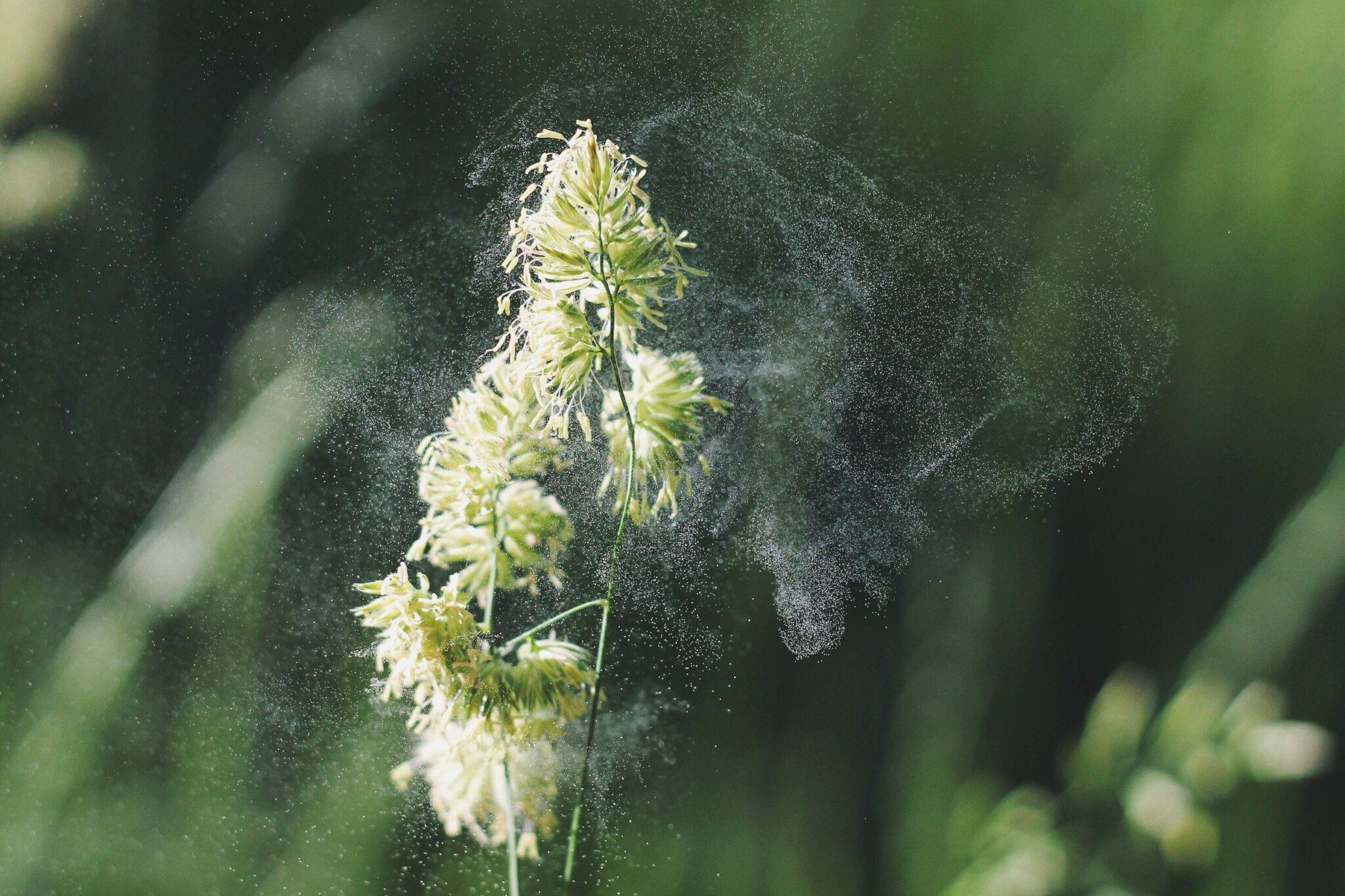 Eine weisse Blume stösst Pollen aus.
