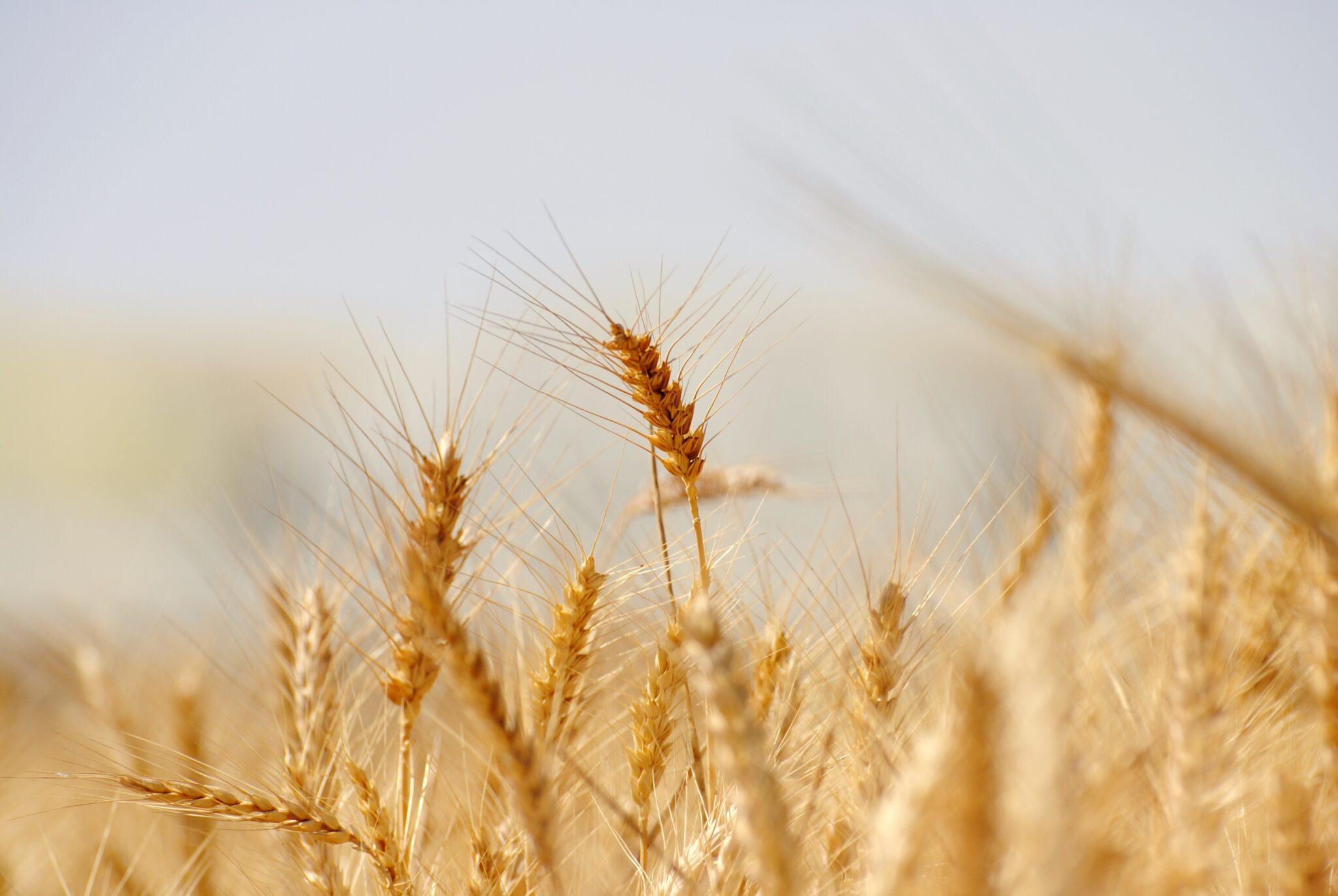 Getreide in Nahaufnahme