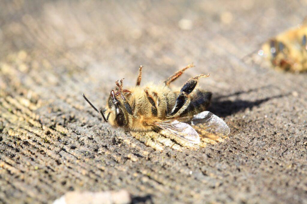 Eine tote Biene auf einem Baumstumpf