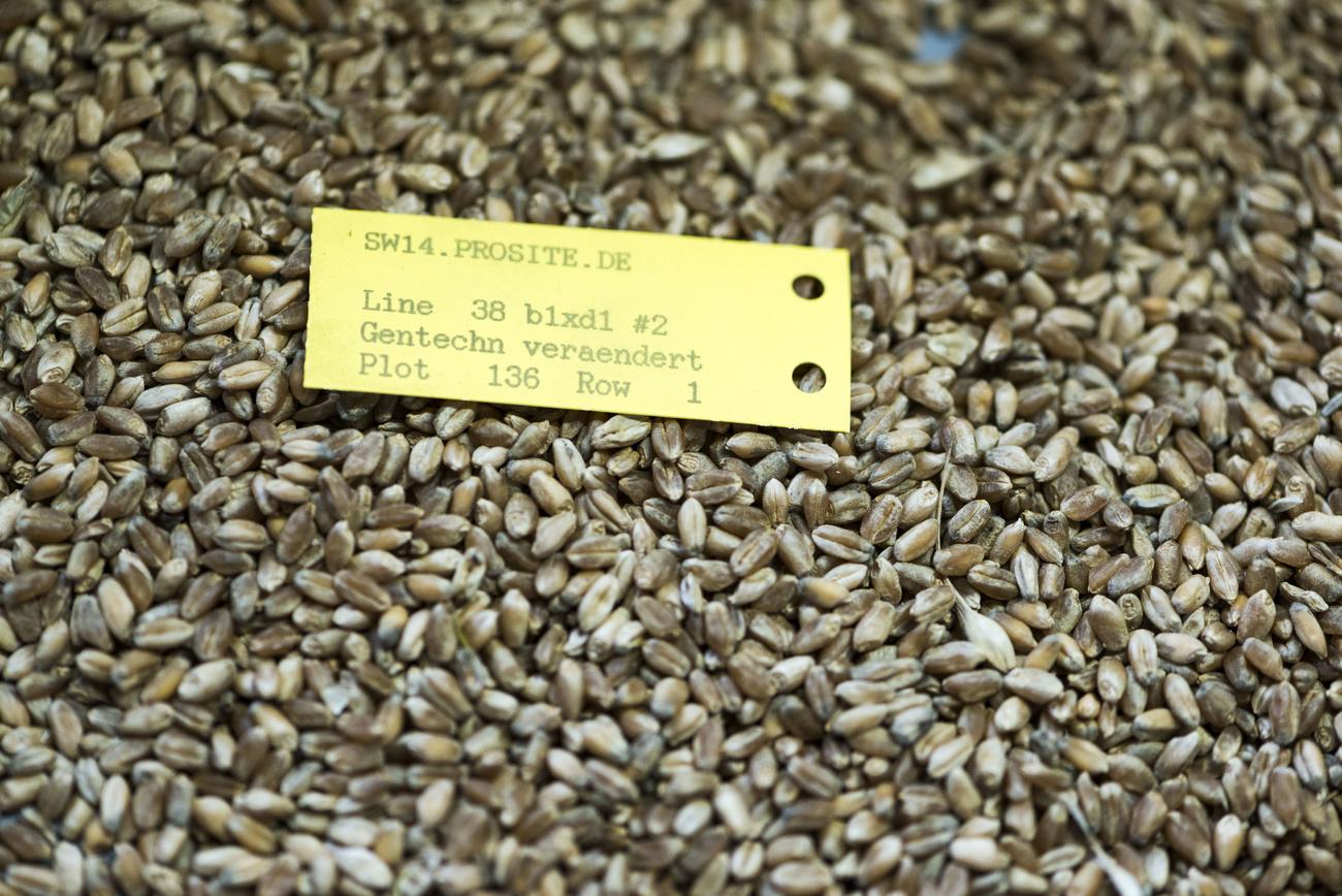 Zu Forschungszwecken gentechnisch veränderter Weizen.