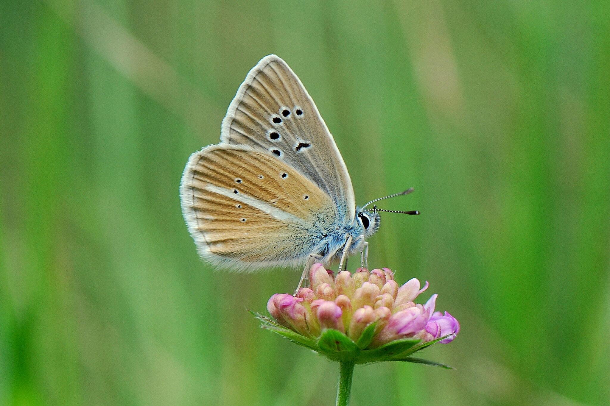 Weissdolch-Bläuling auf einer Blume