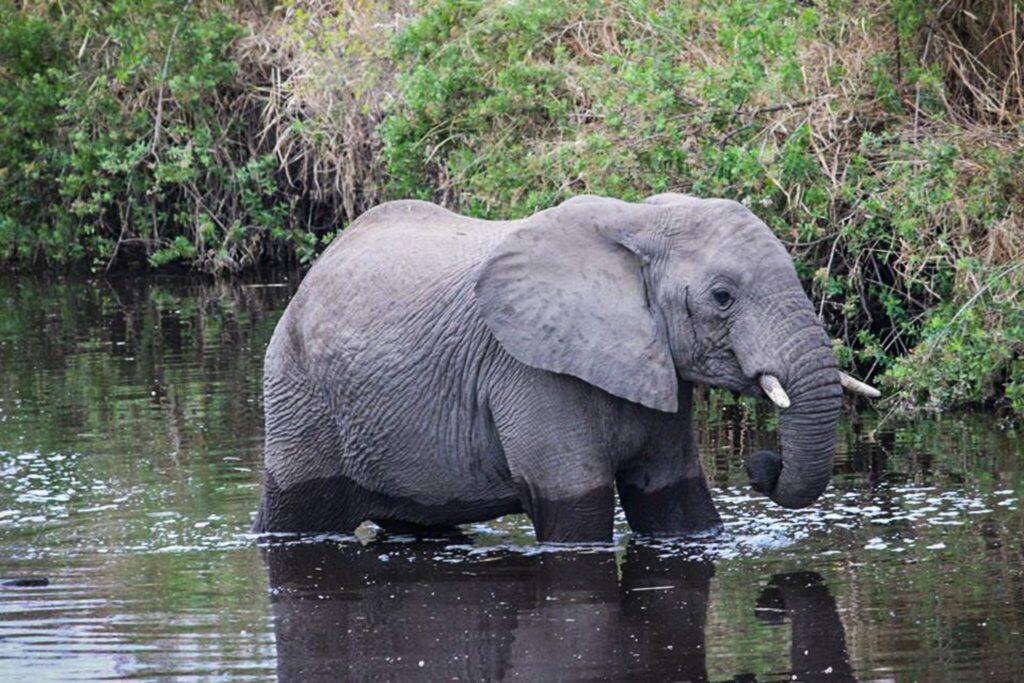 Waldelefant im Wasser
