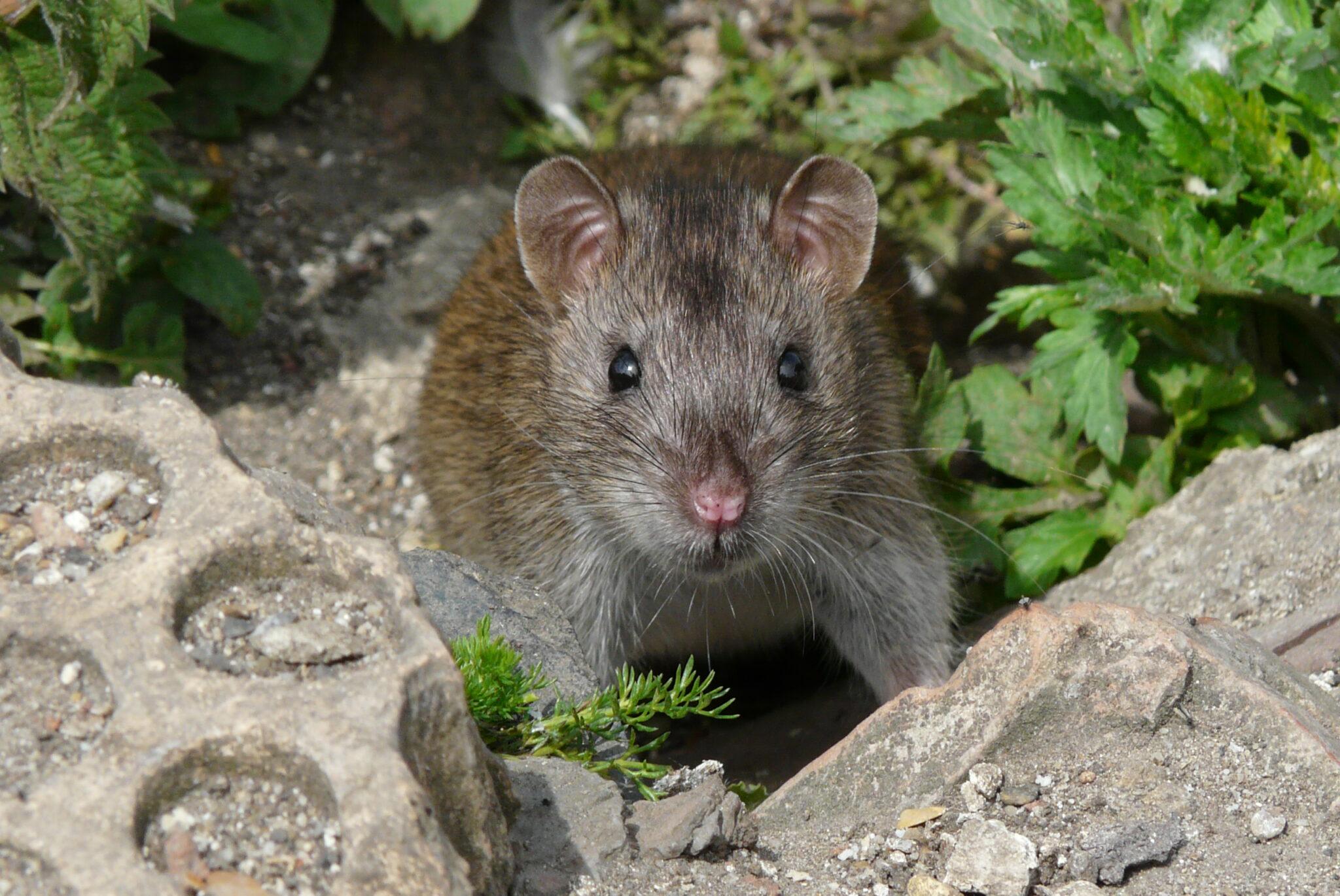 Braune Ratte zwischen Steinen, frontal aufgenommen