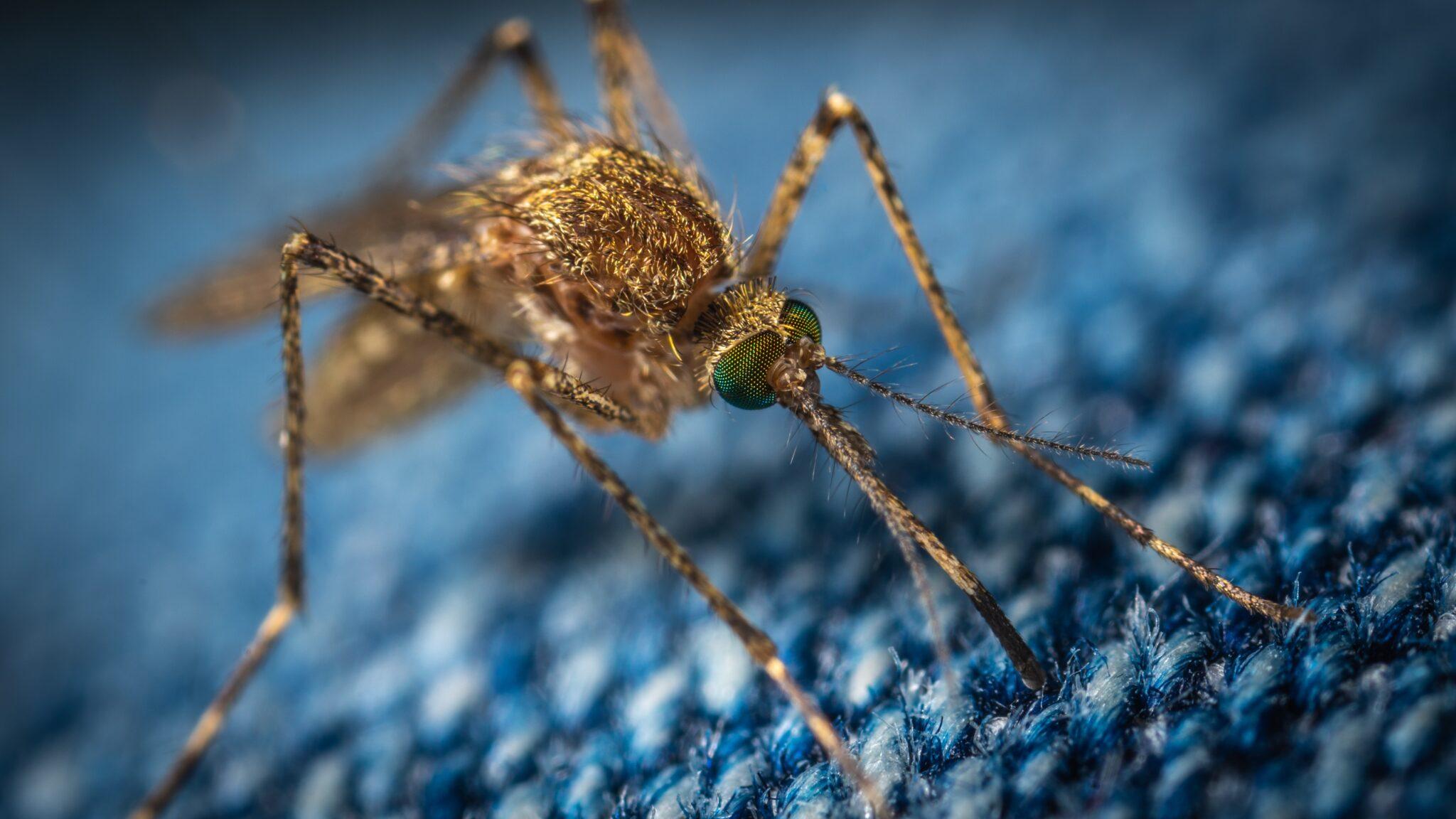 Makro-Aufnahme einer Mücke, die versucht, durch eine Jeans zu stechen.