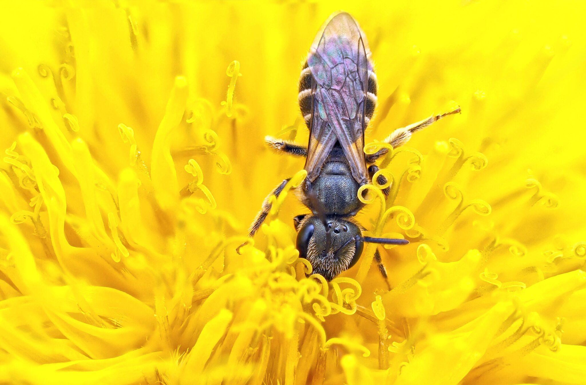 Eine Sandbiene auf vielen gelben Blütenstempeln
