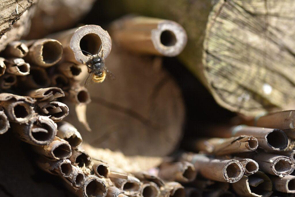 Wildbiene, die an einem Insektenhotel krabbelt.